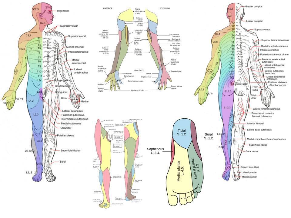 Hermosa Dermatoma Molde - Anatomía de Las Imágenesdel Cuerpo Humano ...